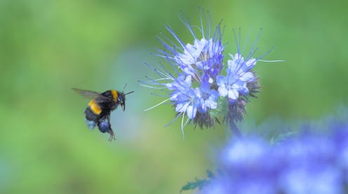A bumblebee hovering over a lavender flower