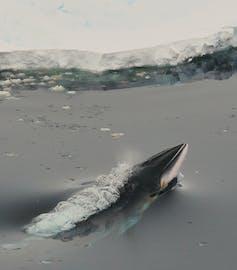 Paus minke di perairan Antarktika