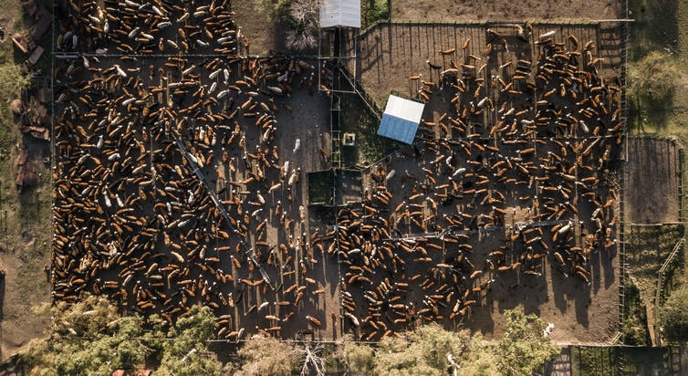 An aerial view of a feedlot full of cows.