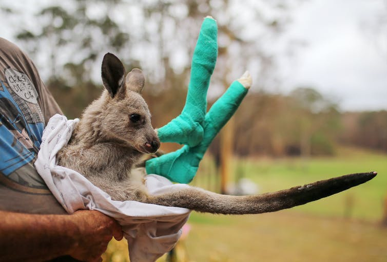 An orphaned joey with green bandages on his feet