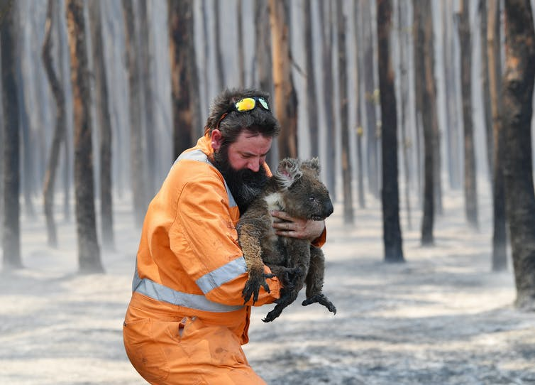 A wildlife rescuer holds a koala with burnt feet in a burnt forest