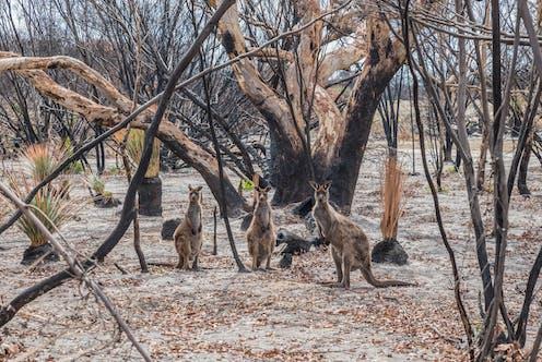 Three kangaroos in regenerating bushland