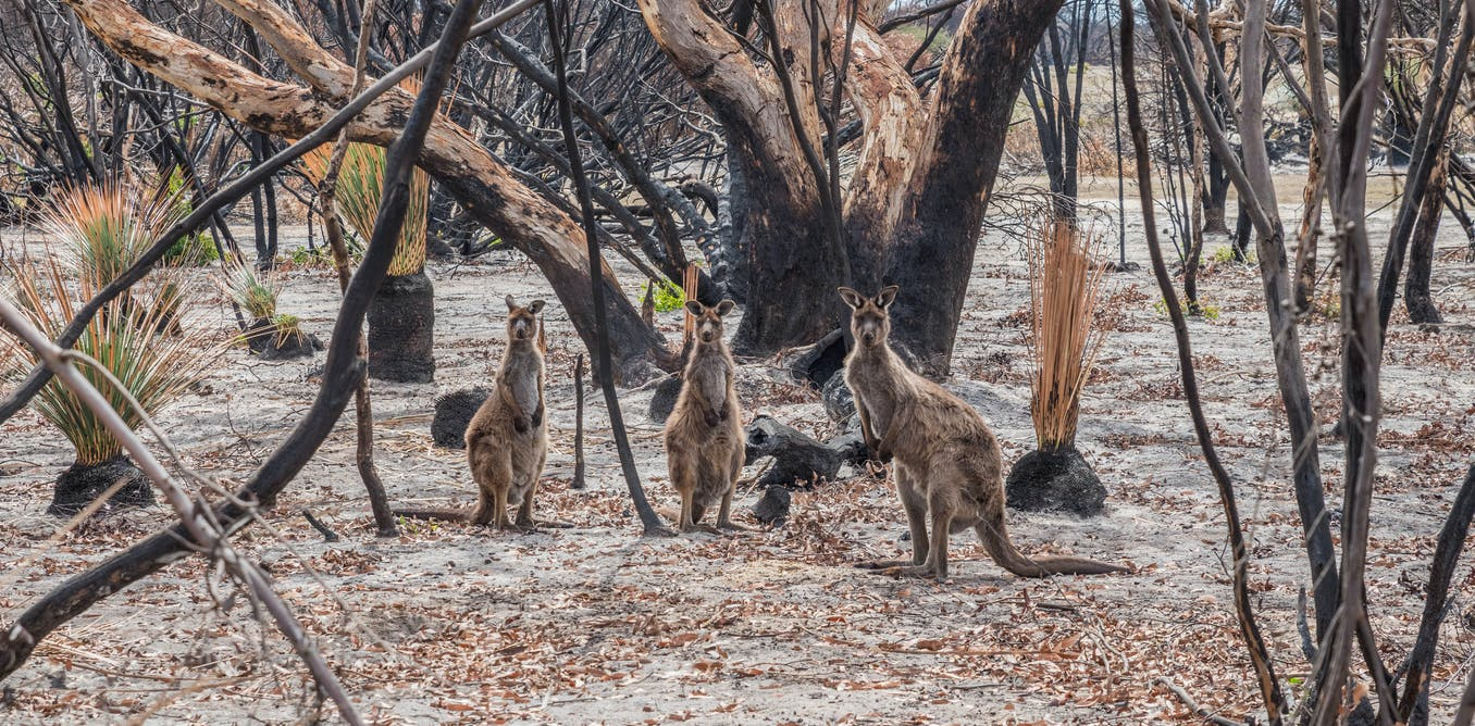 3 billion animals were in the bushfires path. Heres what the royal commission said (and shouldve said) about them