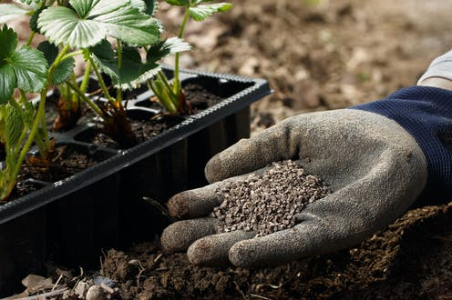A gloved hand holds solid fertiliser next to plants growing in plastic pots.
