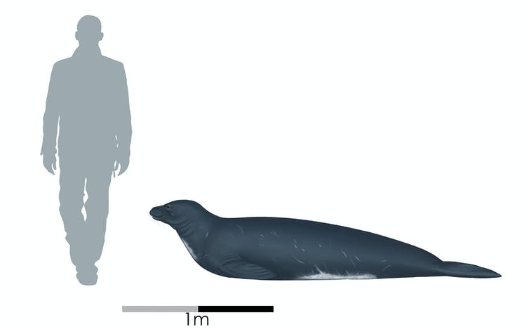 A diagram comparing the size of _Eomonachus belegaerensis_ with an adult human.