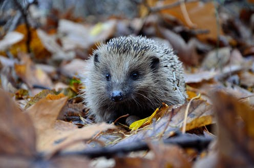 A hedgehog amid dead leaves.