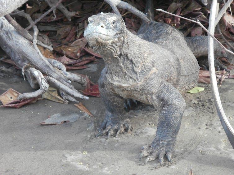 Komodo di Loh Buaya, Pulau Rinca, NTT, tahun 2013