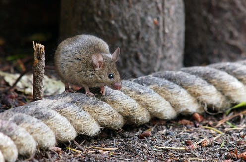 A mouse on a bit of rope on the ground