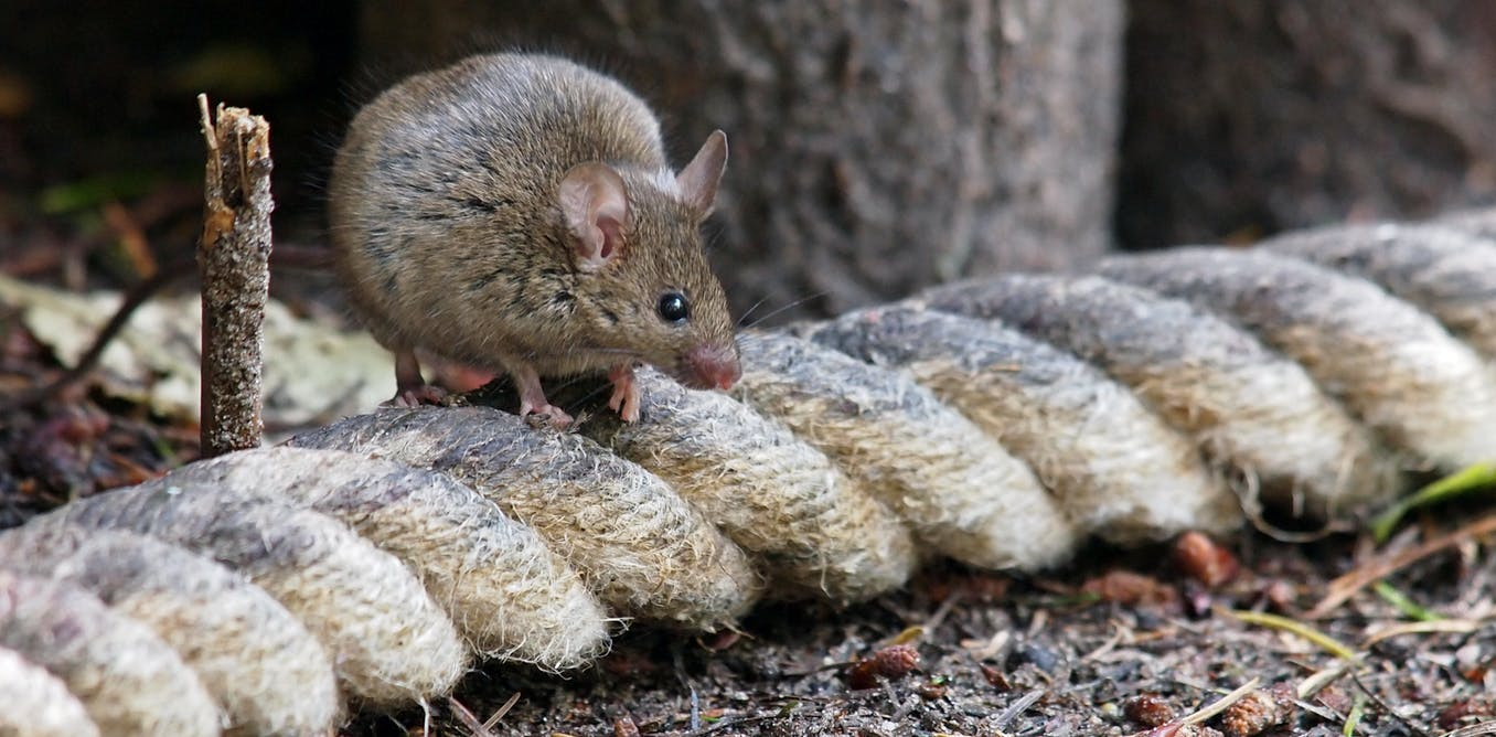 Shy rodents may be better at surviving eradications, but do they pass those traits to their offspring?