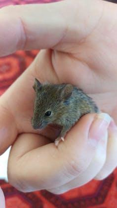 A juvenile mouse