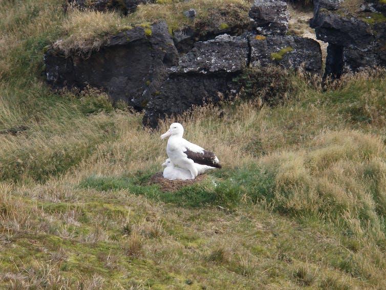 Nesting albatross on Marion Island