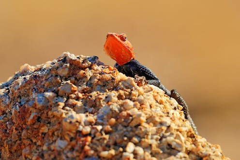 An orange and blue lizard sits atop a rock or stone.
