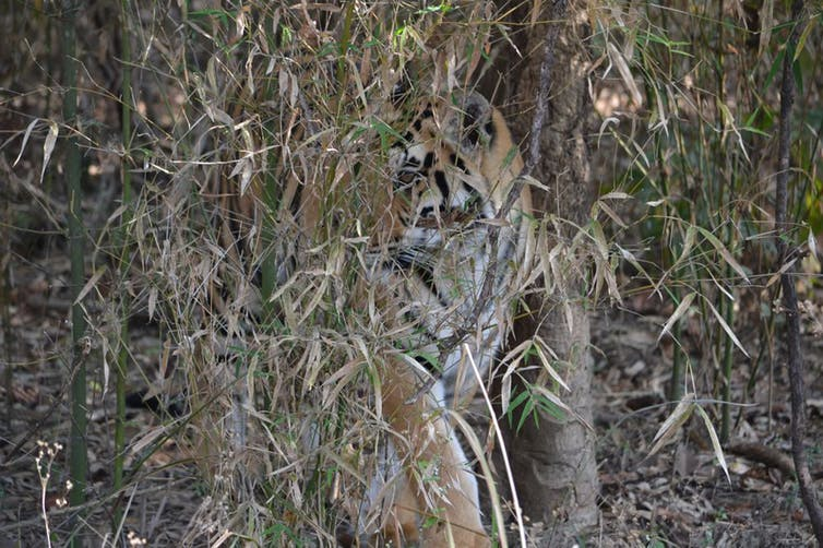 A tiger camouflaged behind long green and orange grass.