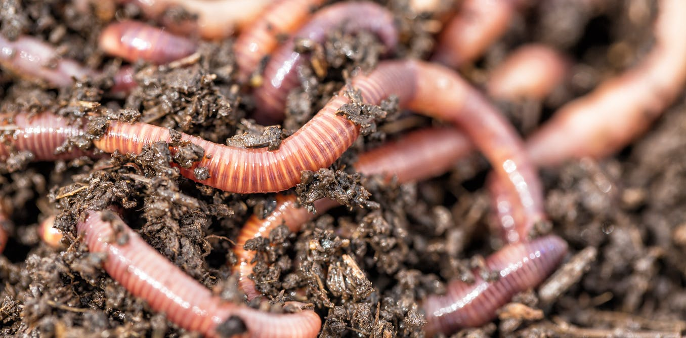 Curious Kids: Do worms have blood? And if so, what colour is it?