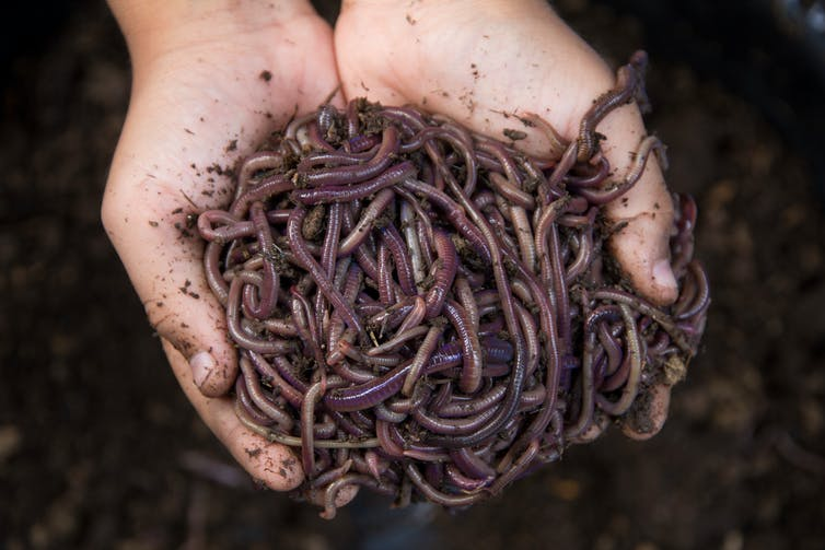 Child's hands holding worms and soil
