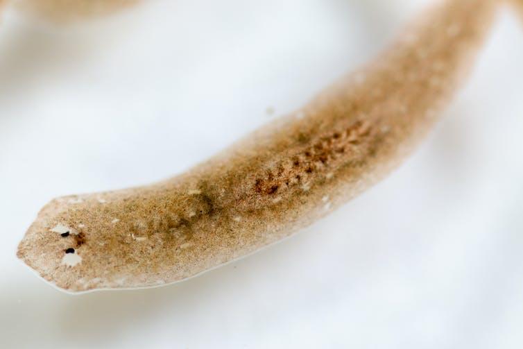 A flatworm