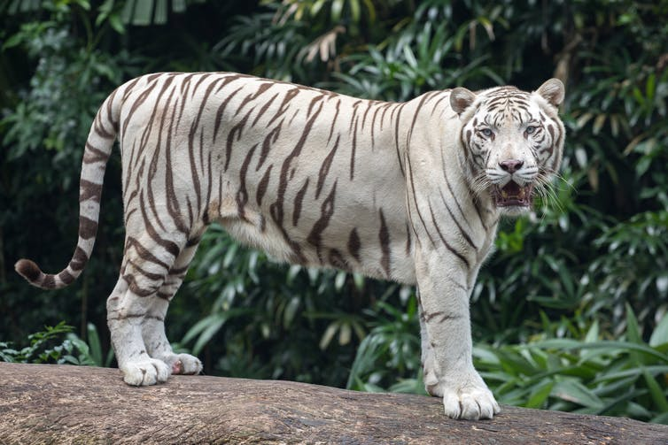 A white tiger standing on a log and looking at the camera.