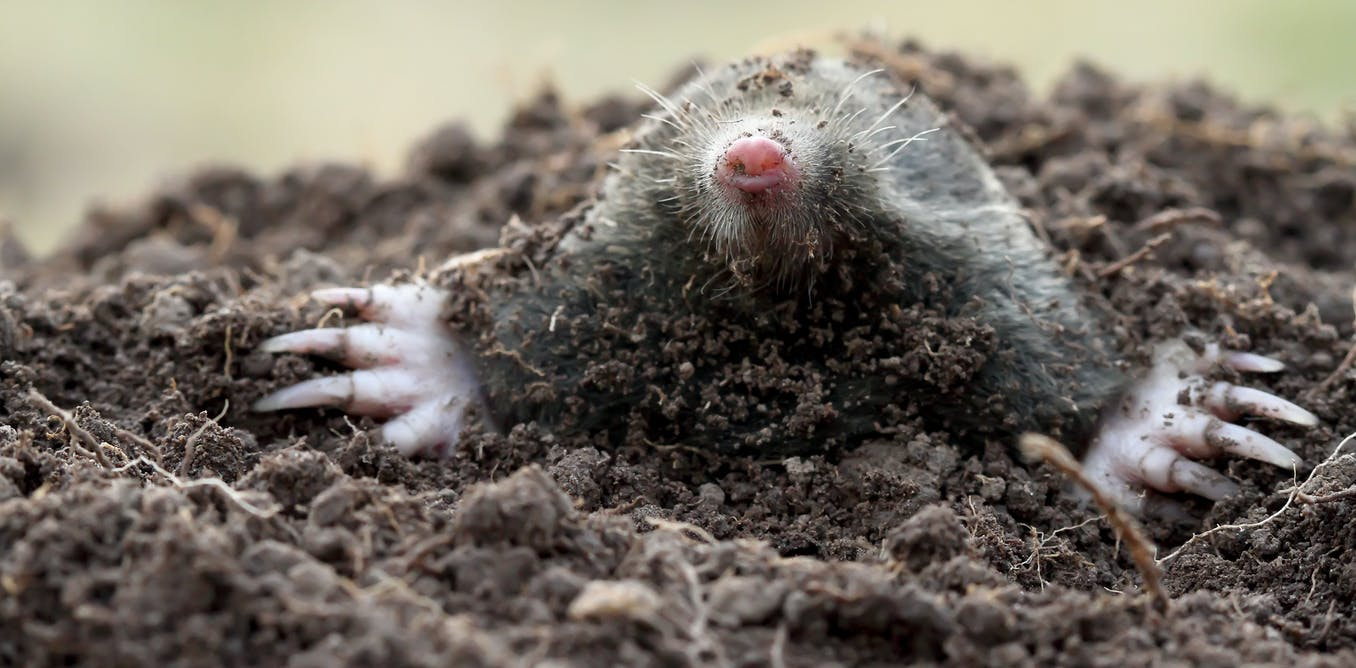 Fierce female moles have male-like hormones and genitals. We now know how this happens.