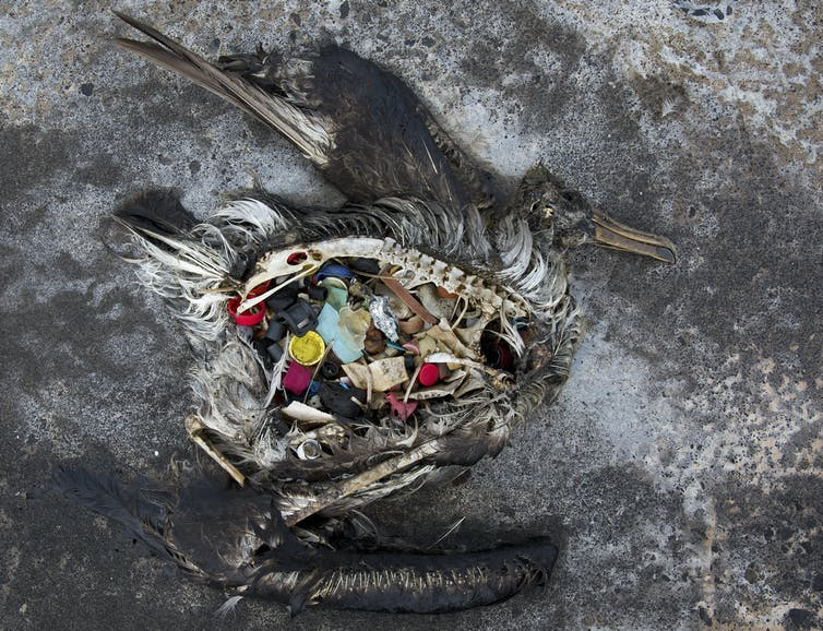 A dead albatross with plastic filling its stomach