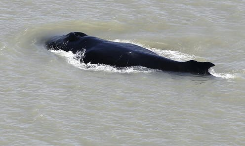 A humpback whale in the East Alligator River