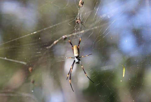 a golden orbweaver spider dangling on a web.