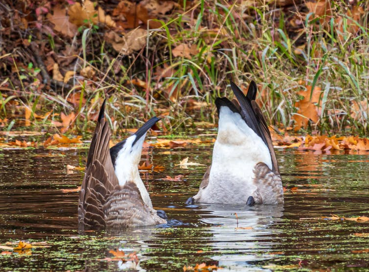 two geese tails emerge from water as they look for food