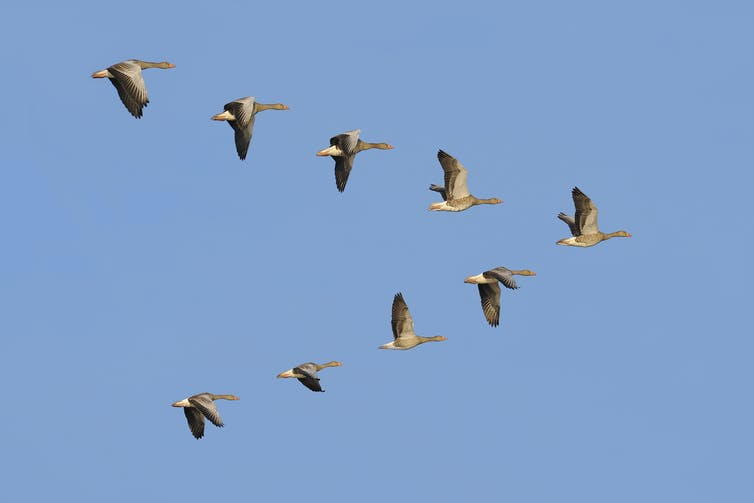 geese fly in a V against a clear sky
