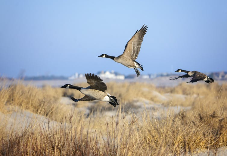 three Canada geese fly over sand dunes