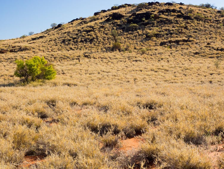Buffel grass surrounds bushfood wattleseed.