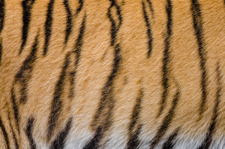 A close image of a tiger's body, showing its distinct stripes.