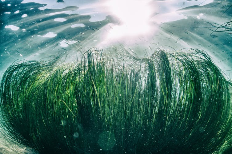 Seagrass in the Pacific Ocean