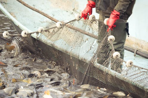 A fisherman pulls in a net full of fish.