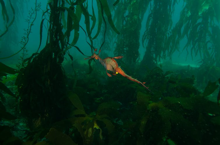 A seadragon in a kelp forest
