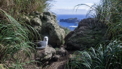 An albatross sits on a rock in the foreground with the ocean behind.