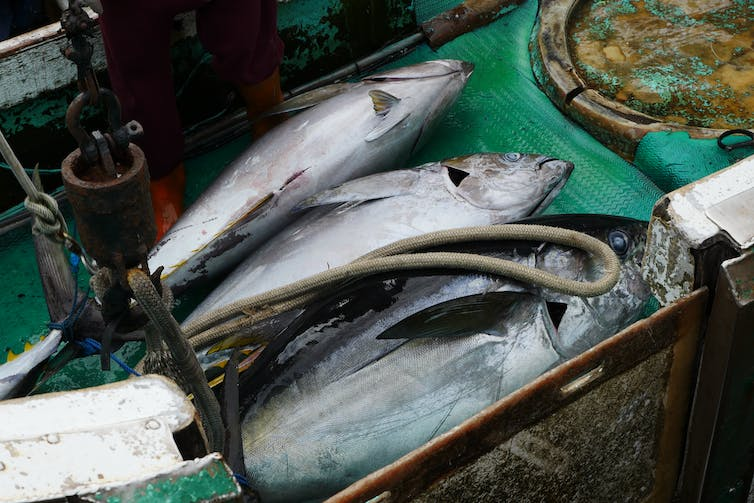 Three freshly caught tuna lie in a box onboard a boat.