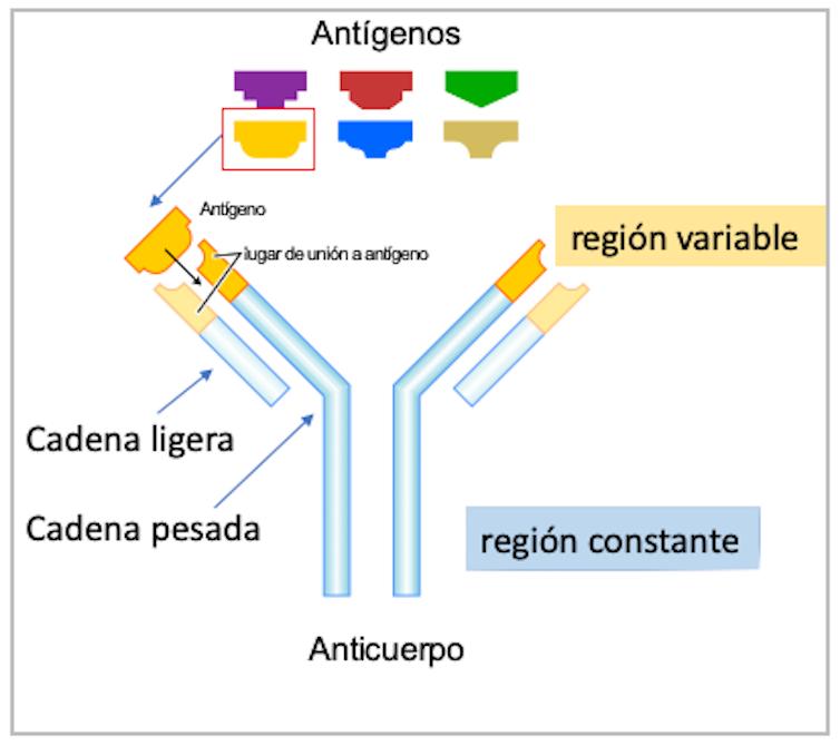 Figura 1. Esquema de la estructura de un anticuerpo.Gustavocarra, adaptado por Mercedes Jiménez,Author provided