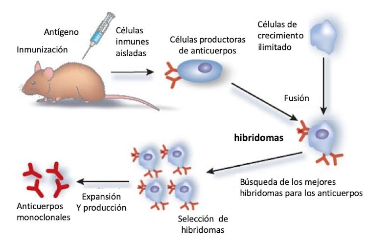 Figura 2. Esquema de la obtención de anticuerpos monoclonales a partir de hibridomas. Adaptado de Michnick and Sidhu (2008) por Mercedes Jiménez.