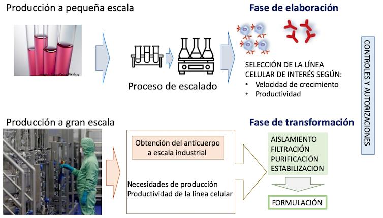 Figura 4. Proceso de producción de un anticuerpo monoclonal.Adaptado de Villaescusa (2017) por Mercedes Jiménez,Author provided