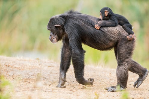 An adult chimpanzee walks on all fours with a baby chimpanzee on its back.