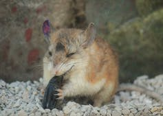 A Grasshopper mouse eats a stink beetle headfirst.