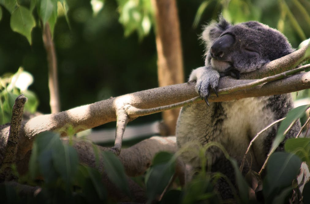 koala research paper A catchy title for a college essay can capture the interest of a bored, tired instructor just be certain you aren't being too humorous or off topic with your title, which could result in a lower grade keep the interests of the instructor and other readers in mind when creating catchy titles and.