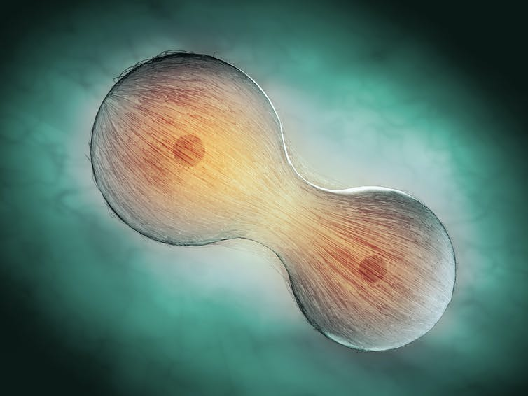 A graphic showing a cell dividing.