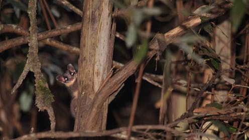 Leadbeater's possum sticks its head out from behind a tree