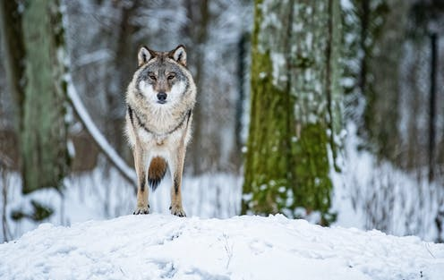 A wolf stands on a snow bank in the forest.