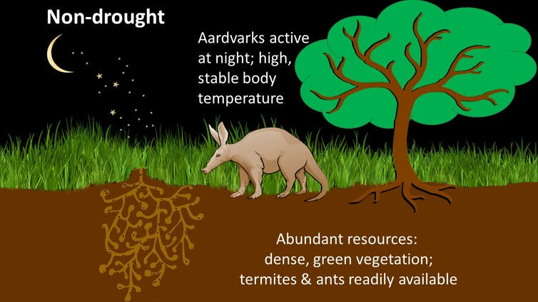 Aardvark active at night during non-drought times