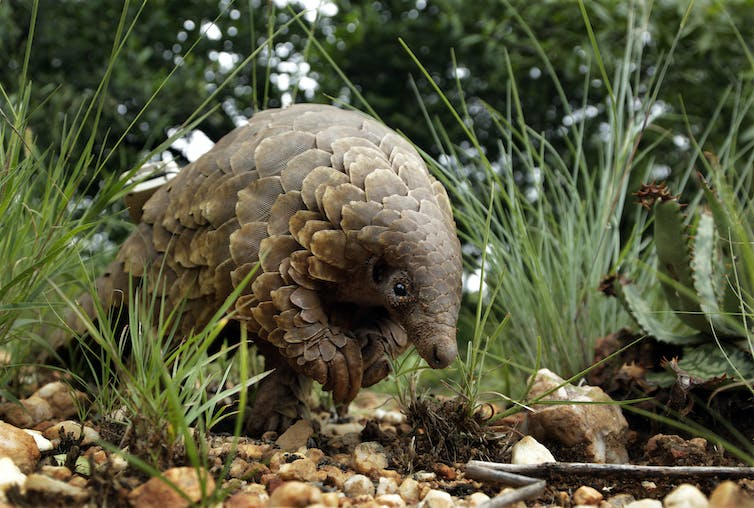 A pangolin emerging from a grassy area.