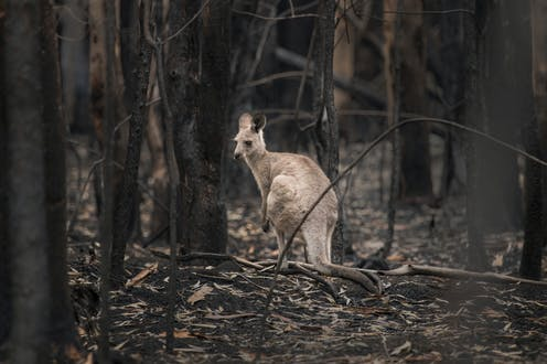 A kangaroo stands amid a forest destroyed by fire.