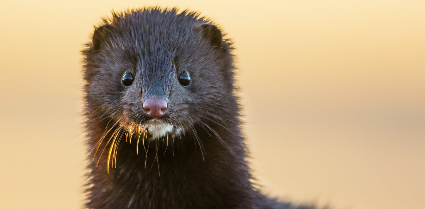 The mink link: How COVID-19 mutations in animals affect human health and vaccine effectiveness