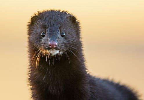 Portrait of a brown mink