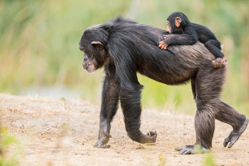 Chimpancé adulto con una cría sobre la espalda.